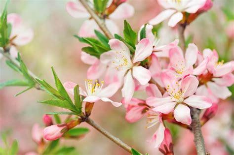 fiore definition fiori pesco fiori di piante pesco fioritura