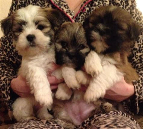 petfinder puppy adopt a lhasa apso breeds petfinder breeds picture breeds picture