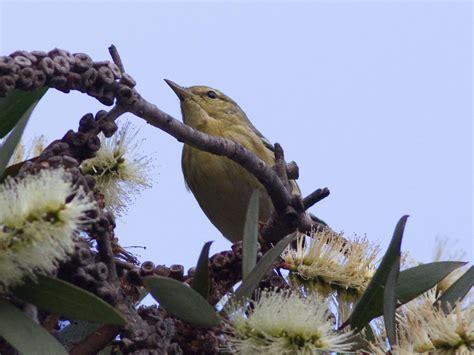 warblers san diego birding