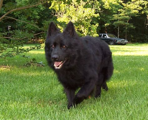 haired black german shepherd puppies for sale haired black german shepherd puppies