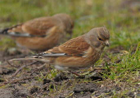 little brown birds identify this wildlife the rspb