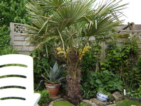 chinesische le garten palme da giardino consigli coltivazione e cura