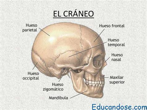 imagenes de huesos temporales cr 225 neo anatom 237 a y partes educ 225 ndose en linea