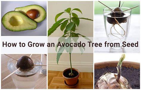 grow  avocado tree  seed home gardeners