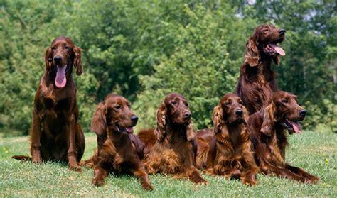irish setter dog group 50 incredible photos of irish setter dog