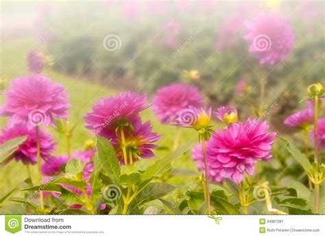 Garden Of Focus Chrysanthemums Stock Image Image 34987281