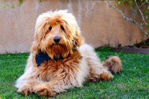 labradoodle puppies for sale mn 1000 ideas about labradoodle puppies for sale on labradoodle puppies