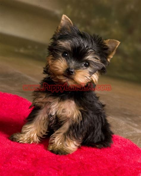 best shoo for yorshireterrierpuppies 1000 images about teacup yorkie on pinterest yorkies