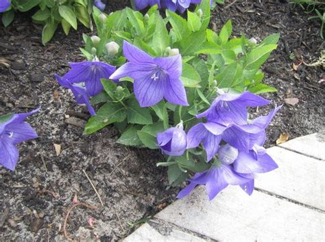 balloon flowers are care free summer bloomers silive com