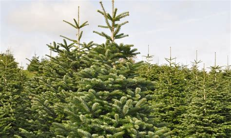 nordmann fir christmas tree fife christmas trees groupon