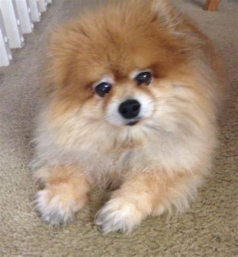pomeranian puppies for adoption pomeranian rescue breeds picture