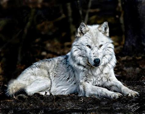 Silver Wolf i the silver wolf but i am a black wolf and my name