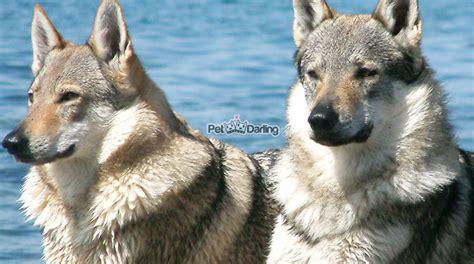 imagenes de animales lobos perro lobo checoslovaco caracteristicas fotos y cuidados