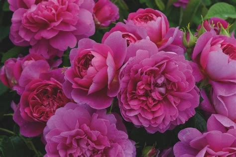 princess anne roses auskitchen  ashridge nurseries