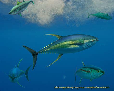 yellowfin boats near me happy hootenanny y is for yellowfin tuna