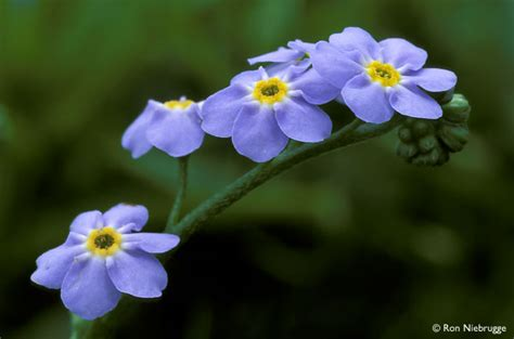 forget me nots flowers photo 25785402 fanpop