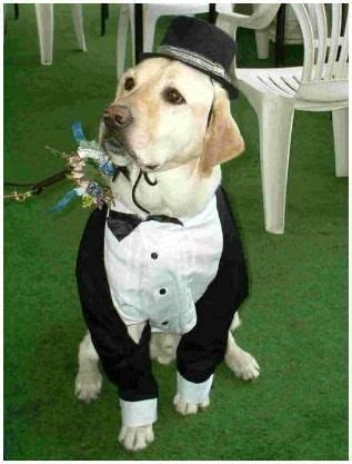 pug ring bearer 76 best images about your as a ringbearer on
