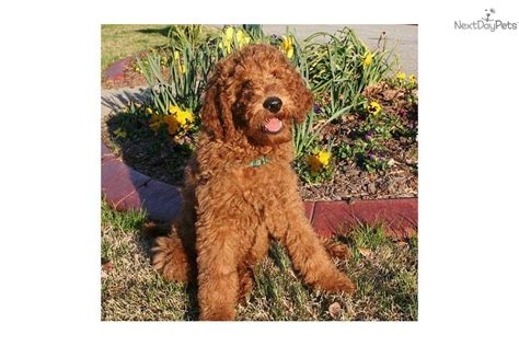 goldendoodle puppies for sale in knoxville tn doo south labradoodles labradoodle breeder