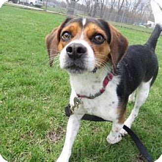 beagle puppies wi beagle mix for adoption in janesville wisconsin scout