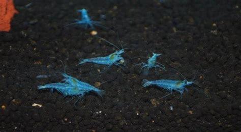 blue wizard neocaridina jualpembesarpenisasli com agen