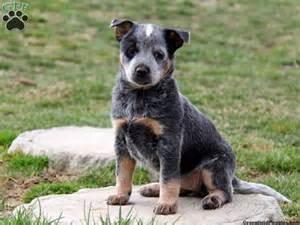 miniature blue heeler puppies for sale in australian cattle blue heeler puppies for sale