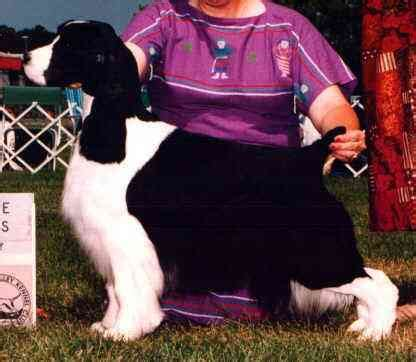 photo courtesy of gentry english springer spaniels ch gentry s salutaire sky high