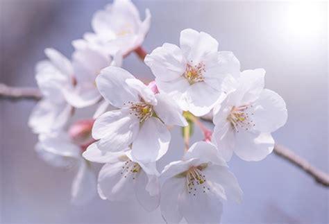 immagini fiori di ciliegio di fiori di ciliegio ramo primo piano scaricare foto gratis