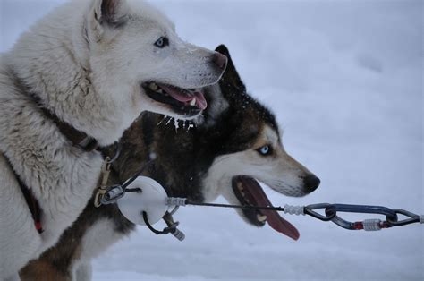 www dogs sled