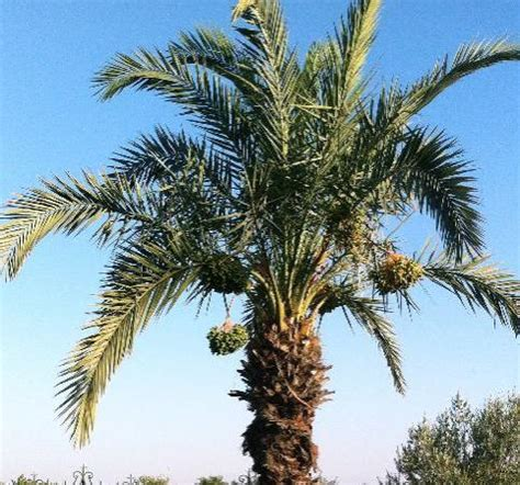 how to grow dates from how do dates grow picture of menara gardens and