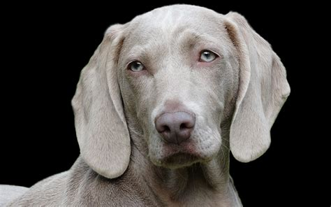 can you take a puppy home at 6 weeks the weimaraner a complete guide the happy puppy site