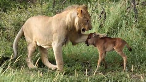 baby wildebeest aslan ve antilop yavrusu vs baby wildebeest