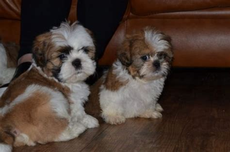 free shih tzu puppies for adoption and shih tzu puppies available for adoption pets for free adoption