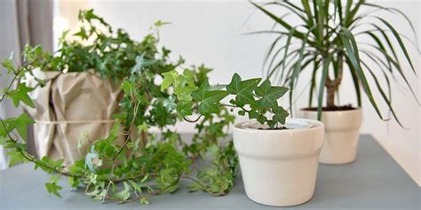 plants in home how english ivy helps reduce mold in your home