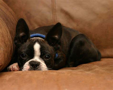 best food for boston terrier puppy boston terrier breed information pet365