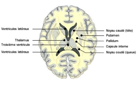 anatomie atlas du humain enc 233 phale doctissimo