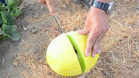 F1 Canary Sed tweety f1 canary melon
