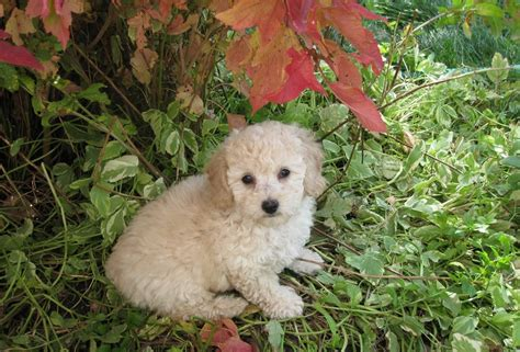 mini poodle info poodle information thinglink