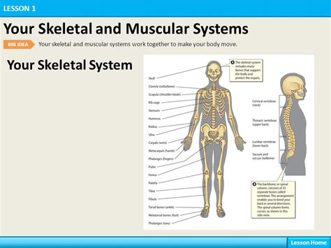 A Tour Of Your Muscular And Skeletal Systems your systems lesson 1 your skeletal and muscular systems ppt