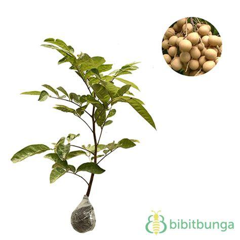 Bibit Kelengkeng Rasa Durian tanaman kelengkeng aroma durian bibitbunga