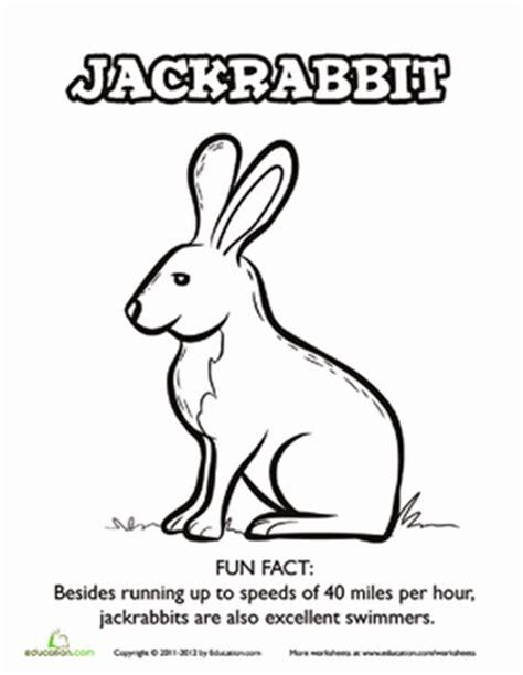 coloring pages jack rabbit jackrabbit facts coloring page education com