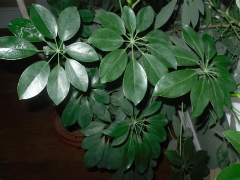 large houseplants clean your houseplants clean your houseplants garden org