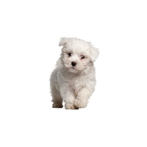 petland ohio puppies pom poo puppies petland carriage place ohio