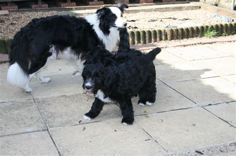 bordoodle puppies for sale bordoodle puppies for sale ready now bournemouth dorset pets4homes