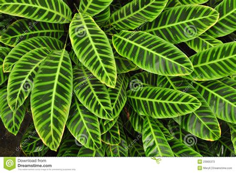 tropical plant leaves green tropical leaves background stock photos image