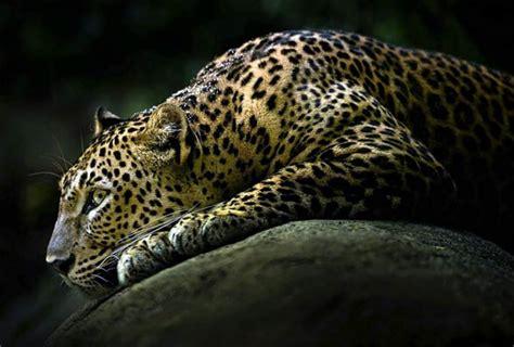imagenes de jaguar para descargar lart wspaniały myśliwy dinoanimals pl
