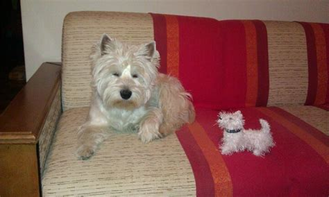 knitting pattern for westie dog coat the 32 best images about westie knit on pinterest toys