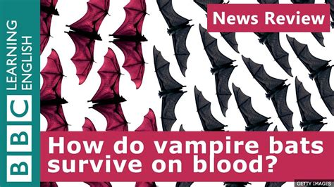 bbc news review how do vire bats survive on blood
