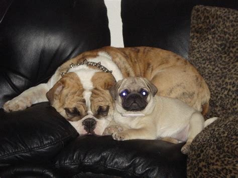 pug breeders sa the gallery for gt baby black pugs for sale