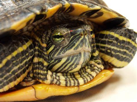 pet species pet turtles species www pixshark images galleries with a bite
