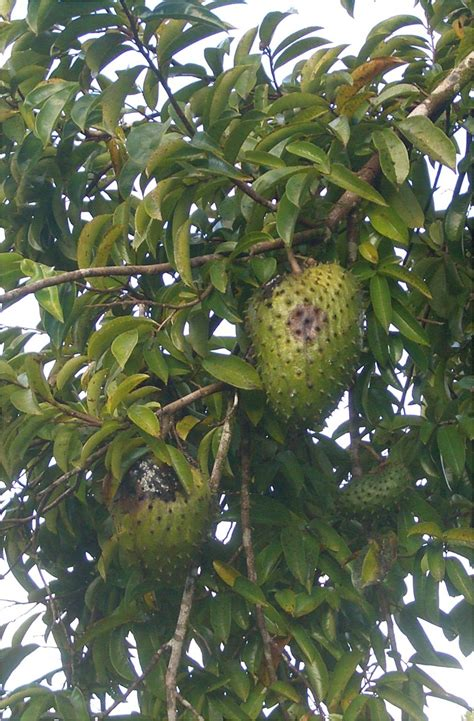 graviola tree fruit where to buy soursop thirst quencher cancer fighter the